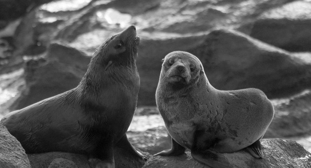 Sea Lions Play