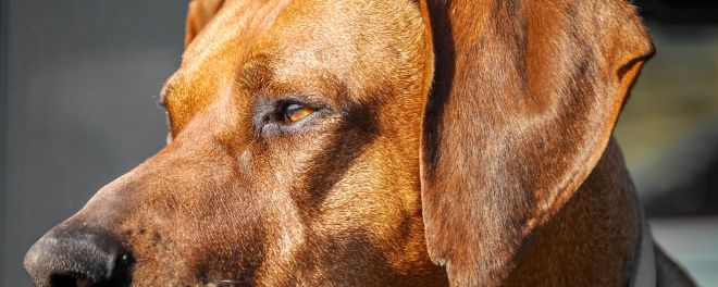 Dog Photography: Rhodesian Ridgeback Portrait
