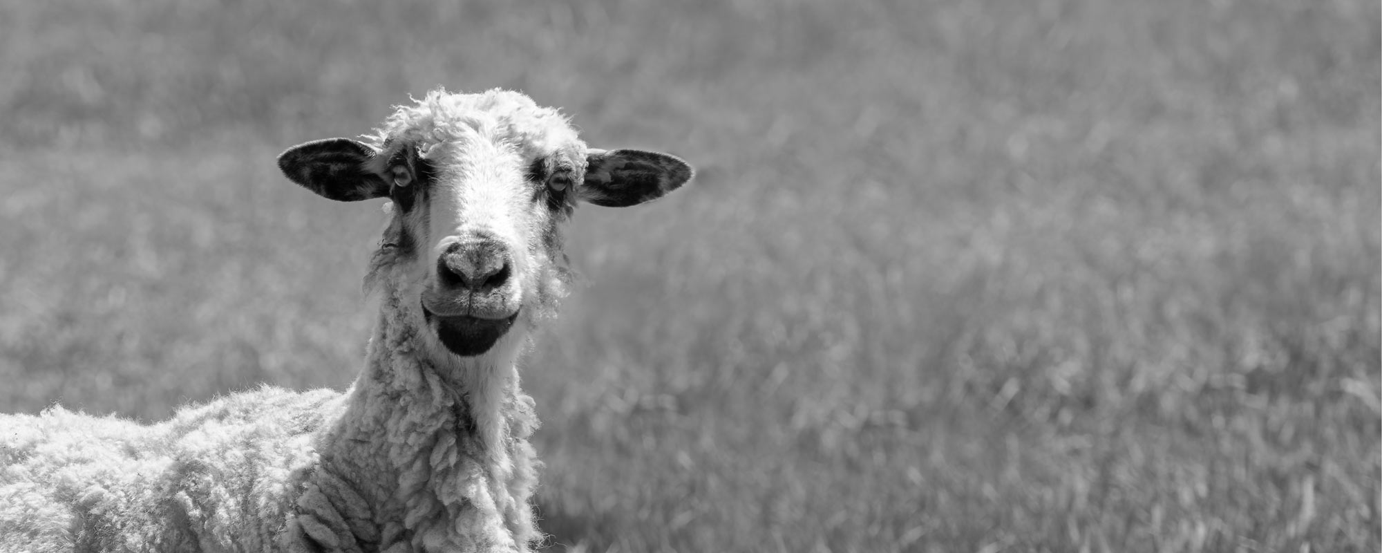 The curious sheep -- black-and-white-wall-art
