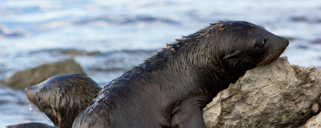 Sea Lion puppy