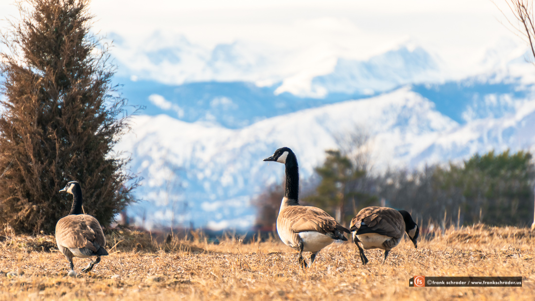 When the Canadian Geese arrive and stay in Colorado you know it is winter here and definitely farther north